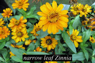 narrow leaf Zinnia