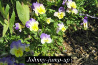 Johnny-jump-up