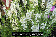 Summer snapdragon